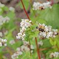 Fagopyrum esculentum-IMG 6188.jpg