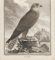 Falco saker - 1700-1880 - Print - Iconographia Zoologica - Special Collections University of Amsterdam - UBA01 IZ18200096.tif