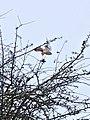 Falco tinnunculus tinnunculus 107013805.jpg