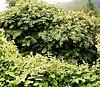 Fallopia japonica 10 ies.jpg