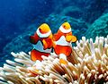False Clown Anemonefish Great Barrier Reef Australia.jpg