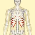 False ribs frontal.png