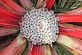 Fascicularia bicolor (SG) (25055774932).jpg