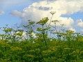 Fennel field - Flickr - Stiller Beobachter.jpg
