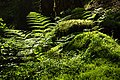 Ferns and mosses in Gullmarsskogen ravine.jpg