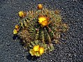 Ferocactus echidne 01.jpg