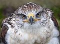 Ferruginous Hawk Head (3863037510).jpg