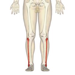 Fíbula - anterior view.png