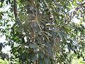 Ficus Geniculata V. Abnormalis2.JPG