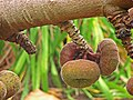 Ficus auriculata 04.jpg