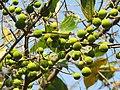 Ficus exasperata fruits at Mayyil 2019 (4).jpg