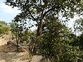 Ficus virens ? (3188144634).jpg