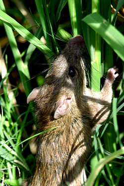 Field rats infesting rice plants (11058917815).jpg