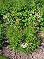 Filipendula vulgaris 'dropwort' 2007-06-02 (plant).jpg