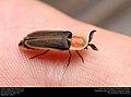 Firefly (Lampyridae, Pleotomus sp.) (29964887062).jpg