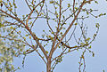 Flacourtia indica in Hyderabad W2 IMG 5607.jpg