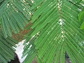 Flamboyant (Delonix regia) leaves 2.jpg