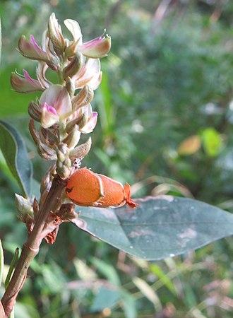 Flemingia macrophylla - Image: Flemingia macrophylla