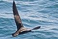 Flesh-footed Shearwater (5041604134).jpg