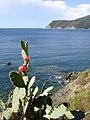 Fleurs de cactus à Lacona, Ile d'Elbe - panoramio.jpg