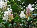 Fleurs de rhododendrons 2.JPG