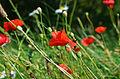 Flickr - Duncan~ - Poppy Meadow.jpg