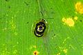 Flickr - ggallice - Tortoise beetle.jpg