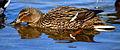 Flickr - law keven - An Essex Bird...lol..-O))).jpg