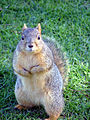 Flickr - law keven - Not a Grey Squirrel..lol, or English..come to that..-O).jpg