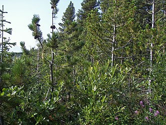 Flora on Klondike Highway, British Columbia 4.jpg