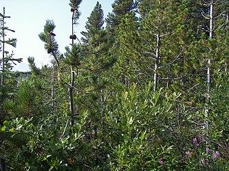 Flora on Klondike Highway, British Columbia 4.jpg