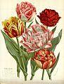 Flore des serres v16 143a.jpg