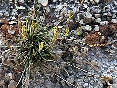Flors, Barranc de Runals (Serra del Jordal).jpg