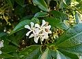 Flors de gesmiler (Trachelospermum jasminoides) darrere de l'església, Altea.jpg