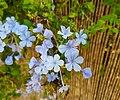 Flors de gessamí blau a la partida de les Pallisses, Gata.jpg
