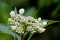 "Flower, Hydrangea ""Oh-Amacya"" - Flickr - nekonomania.jpg"