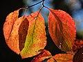 Flowering Dogwood (30837020916).jpg