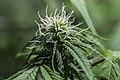 Flowering White Skunk Cannabis Sativa.jpg