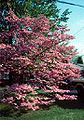 Floweringdogwood2.jpg