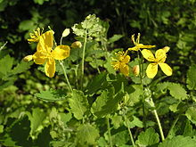 Flowers of Chelidonium majus.jpg