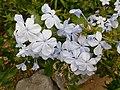 Flowers of Plumbago auriculata in TBG.jpg