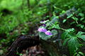 Forest-spring-wildflowers - West Virginia - ForestWander.jpg