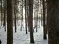 Forest in Snowtime.jpg