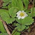 Fragaria iinumae (flower s10).jpg
