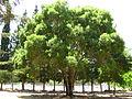 Fraxinus angustifolia - Israel.JPG