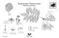 Fraxinus excelsior.pdf