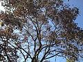 Fraxinus floribunda.jpg