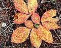 Freckled Peach (225927463).jpg