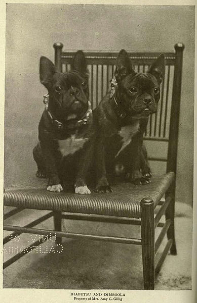 File:French Bulldogs circa 1905.jpg
