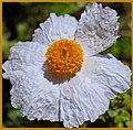 Fried Egg Flower (153089577).jpeg